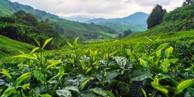 EGCG de té verde. Interesante compuesto para la pérdida de peso